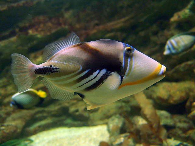 Variety in the personal lives of triggerfish