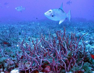 Triggerfish. Gulf of Mexico, McGrail Bank. Credit: NURC/UNCW and NOAA/FGBNMS.