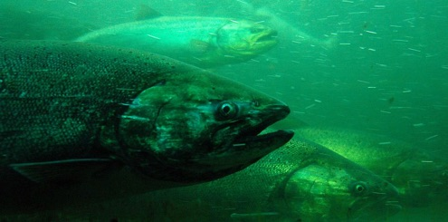 Spawning Under the Influence: Drugs and Toxins Found in Salmon