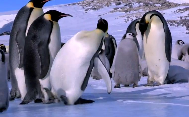 Frequent Fallers: Fat penguins have trouble staying on their feet