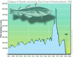 The collapse of the North Atlantic cod fishery is the textbook example of the consequences of overfishing [Wikimedia].