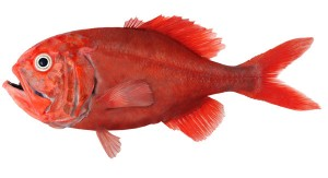 Figure 3: The long lived deep-sea orange roughy. Image from orangeroughyinfo.tumblr.com