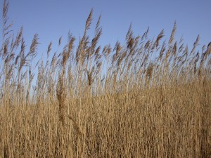 Figure 1: A line of non-native phragmites in a wetland. Credit: https://c1.staticflickr.com/3/2161/2480281536_6fc00f1e41_b.jpg