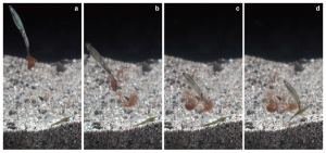 Fig. 5: The process by which this squid uses ink clouds to help capture prey (Photo: N. Sato).