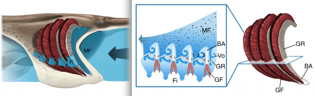 The mainstream flow (MF) of water moves towards the back of the mouth, but as it passes over each branchial arch (BA), some of the water enters the slots between the branchial arches and a spiral, or vortex (vo) of water is created. Some particles are trapped in zones (1) and (3) of the gillrakers (GR), while other particles remain suspended and circulated in zones (2) and (3). The filtered water (Fi) then passes over the gill filament (GF).