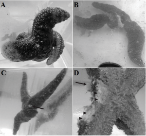 Symptoms of sea star wasting disease: A) Arm twisting, B) Corckscrew arm twisting and arm detachment, C) Lesions and arm loss, D) Close up of detached arm wound (After Kohl et al.)