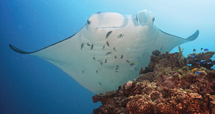 Fig 2: A manta ray visiting a coral reef cleaning station. Several species of cleaner fish will remove external parasites from the ray's body as it waits. Photo taken from Jaine et al. 2012.