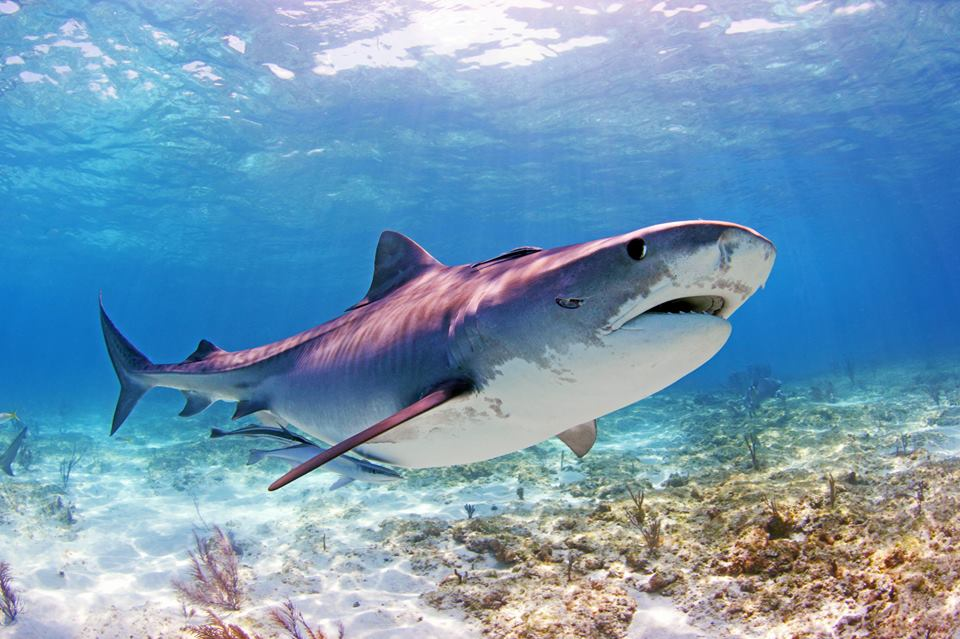 Guest Post: Tiger Beach, Bahamas: A Safe Haven for Female Tiger Sharks
