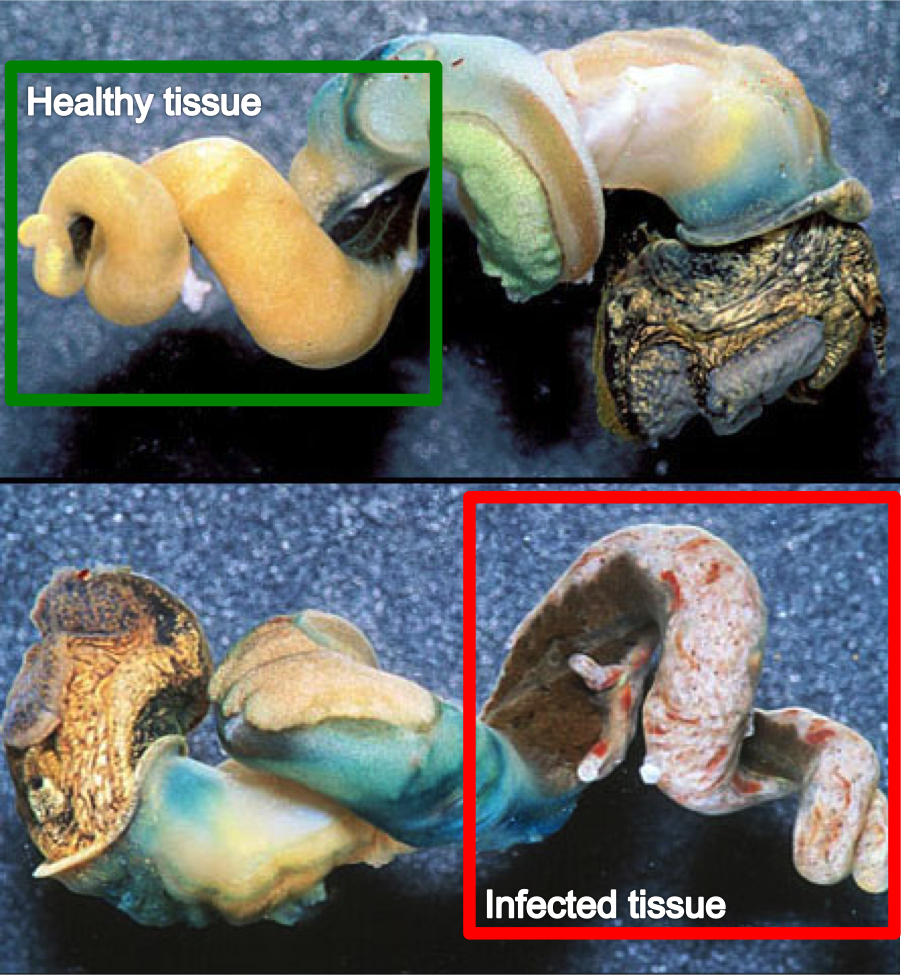 Figure 1 – Trematode parasites in an unshelled California horn snail.  The normal horn snail (top) has orange tissue that produces sperm.  The infected horn snail (bottom) has none of that orange tissue and is instead used as a resource for the trematode parasite.  Source: https://www.sciencenews.org/sites/default/files/8417