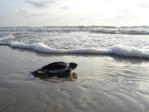 Hatchlings dash towards the ocean as soon as they emerge from their nest. They run a gauntlet of predators not only on the shore, but in the water, in hopes of one day returning to the breeding grounds and producing their own offspring [Wikimedia Commons].