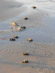 With so many hatchlings appearing at once, even the hungriest predators can't snap them all up. [Public Domain Images]