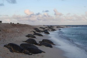 Green sea turtles have massive egg laying and hatching events, and tend to return to the same site year after year [Public Domain Images]