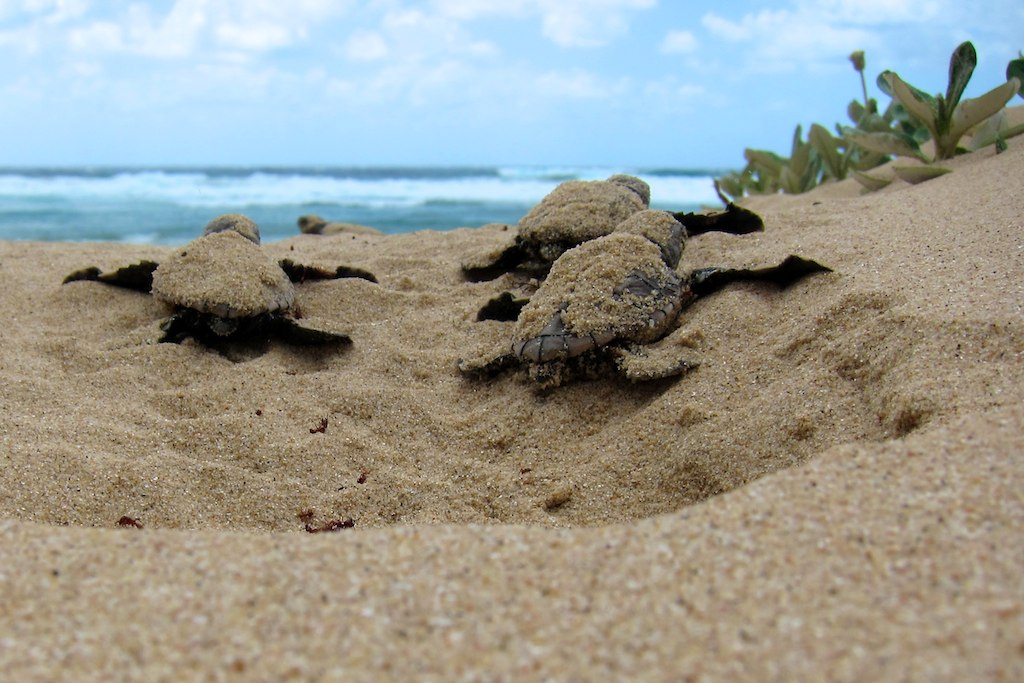 With a little help from my friends: sea turtles hatch together to save energy