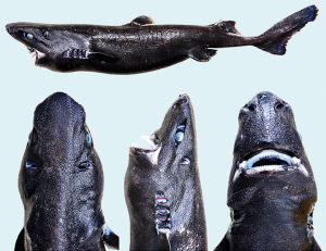 "Ninja lanternshark (Etmopterus benchleyi). Image as published in: Vásquez, V.E., Ebert, D.A. & Long, D.J. (2015). ""Etmopterus benchleyi n. sp., a new lanternshark (Squaliformes: Etmopteridae) from the central eastern Pacific Ocean"" (PDF). Journal of the Ocean Science Foundation, 17: 43–55. Retrieved 25 December 2015. (CC-BY)"
