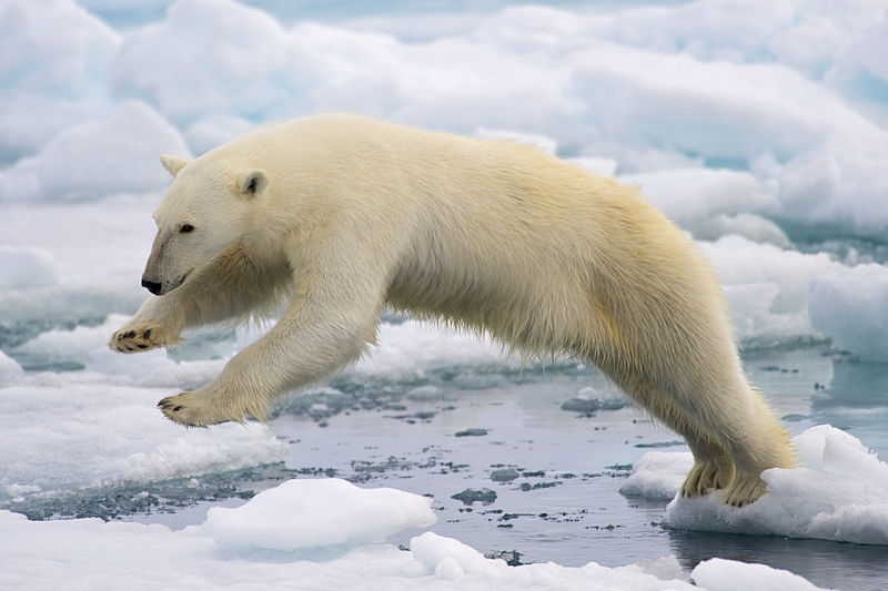 If You Must, Adjust? Polar Bears Leaving Sea Ice in the Arctic
