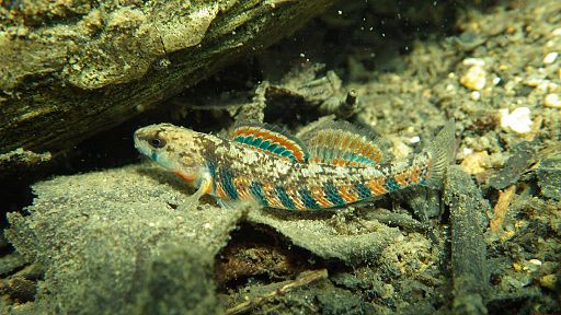 Figure 1 – The rainbow darter: A small freshwater fish used in this experiment. Photo credit: Jeff Finley, USFWS