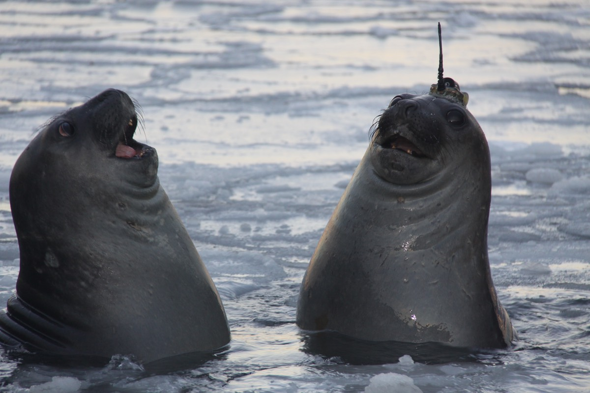 Seals put on their thinking caps for under-ice science