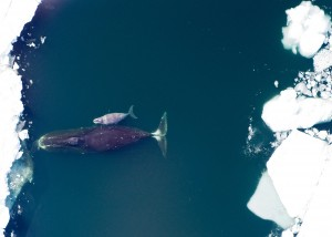 Mother and calf bowhead whale [Flickr, IIP Photo Archive].