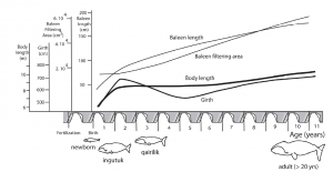 Changes in body length, girth, baleen length, and estimate baleen filtering area with development in bowhead whales [George et al., 2016, PLoS ONE].