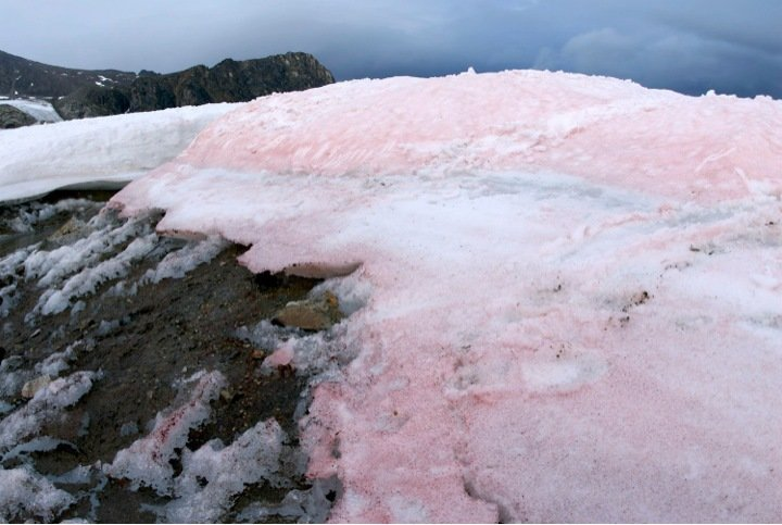 Watermelon snow – Colorful algae speed up the melting of glaciers
