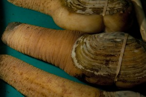 Figure 1: The Pacific geoduck (Panopea generosa) is a popular bivalve beloved by many seafood connoisseurs. Its edible popularity has spawned a huge aquaculture business in the Pacific coast. Credit: Flickr https://www.flickr.com/photos/viucsr/6926921010