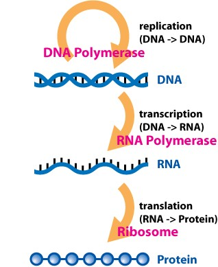 The central dogma of molecular biology. DNA is used to produce RNA, which contains the same information as the copied stretch of DNA (the gene), but is able to be moved throughout the cell. RNA is then provides instructions to special cellular machinery to produce proteins. Photo adapted from Wikimedia Commons.