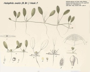 Fig. 1: Illustration of Halophila ovalis by Hemprich and Ehrenberg. Source: Wikimedia Commons (https://commons.wikimedia.org/wiki/File:Halophila_ovalis.jpg)