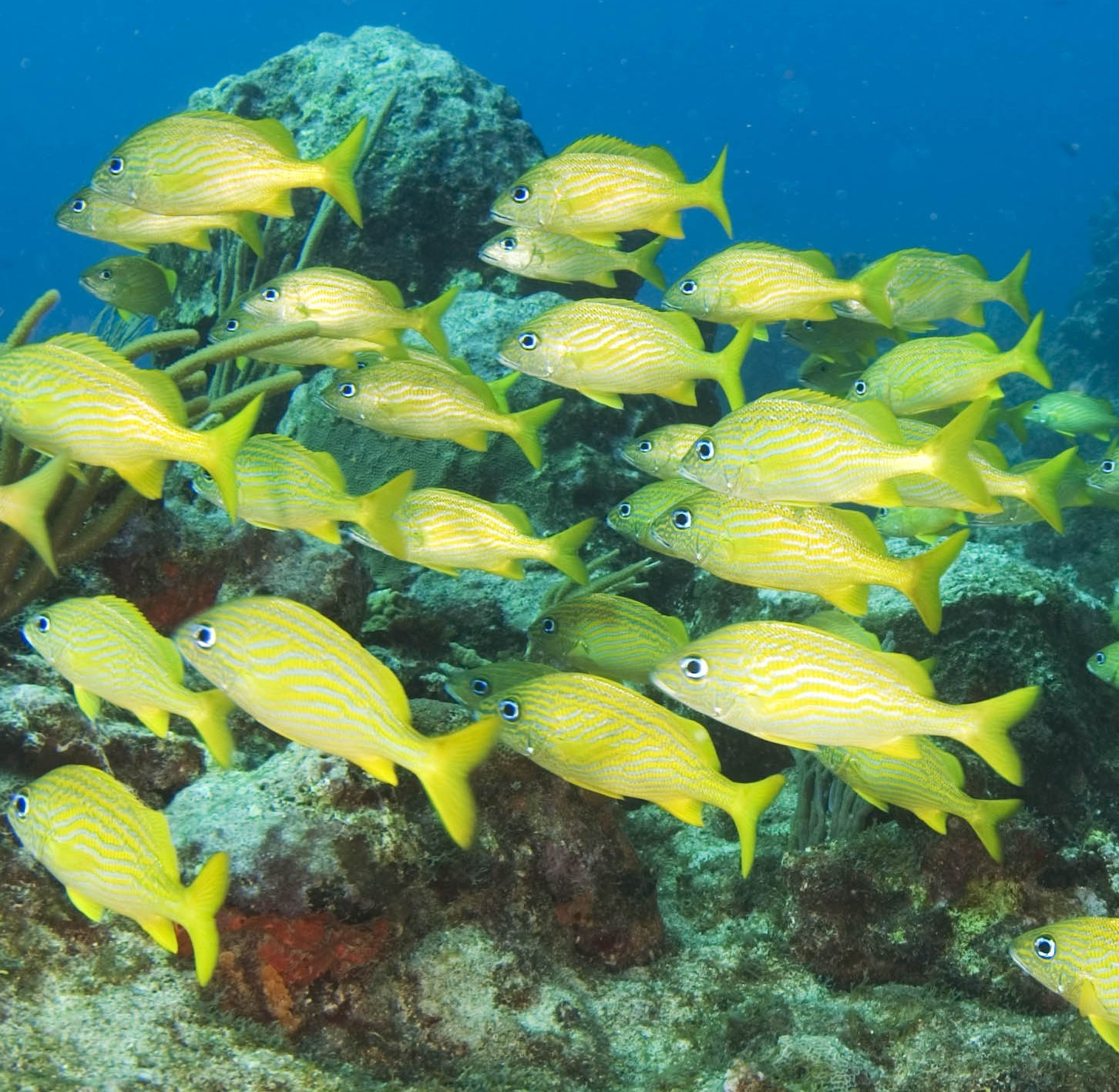 Grunts and Gnathiids: One Fish's Daily Migration to Escape Parasites?