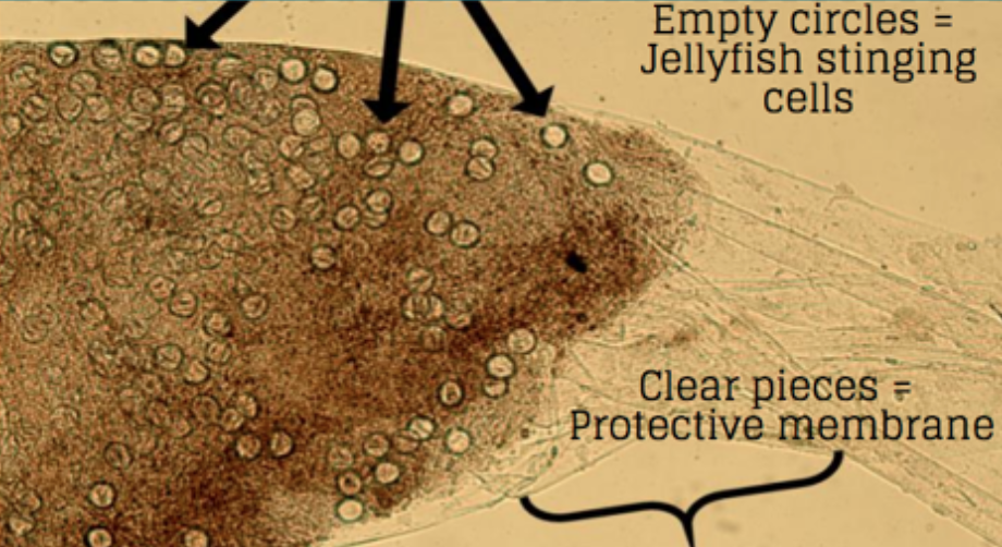 Figure 2: A close up view of the lobster's poop. The clear pieces are the protective membrane that encases the stingers, and the empty circles are the activated jellyfish stinging cells. Source: Kamio et al. 2016.