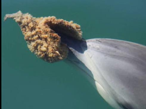 Fig. 1: Dolphins have been observed using tools, such as a sponge, to help them capture small prey items from the sea floor.