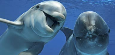 Fig. 3: Dolphins are highly social animals. Do they use language like humans do?