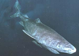 Long-lived sharks challenge ageing theory