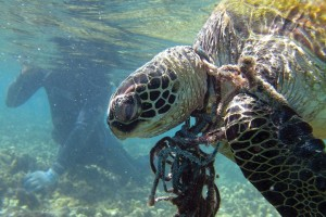 Fig. 3. Entangled Sea Turtle. Source: NOAA.