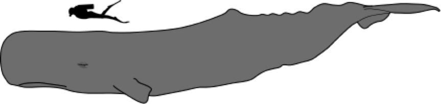 The relative size of an average sperm whale. Source: Chris Huh on Wikimedia Commons.