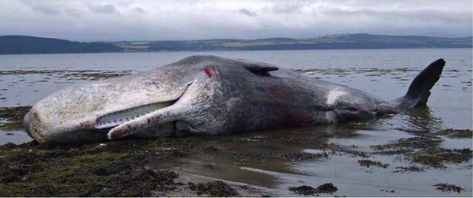 Beached sperm whale in Scotland. Source: Nick R. on Wikimedia Commons.