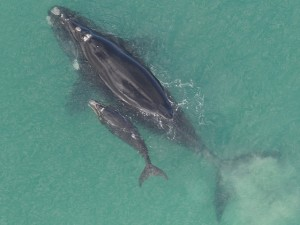 Southern right whale calf mortality has increased from <6 calves annually from 1971 to 2004 to an average of 65 deaths per year from 2005 to 2014 [Department of Environment and Industry, Flickr].
