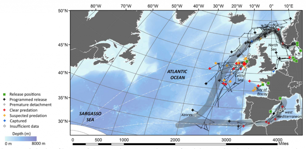 The Long and Windy Road. The course of the European eels apparently converging in the Azores on the way to the Saragasso Sea. (Courtesy Righton et al. Sci. Adv. 2016)