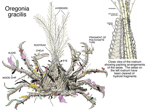 Fig. 2: Some common items that decorator crabs might use to costume themselves. (Photo: Scientific American, Inc.)