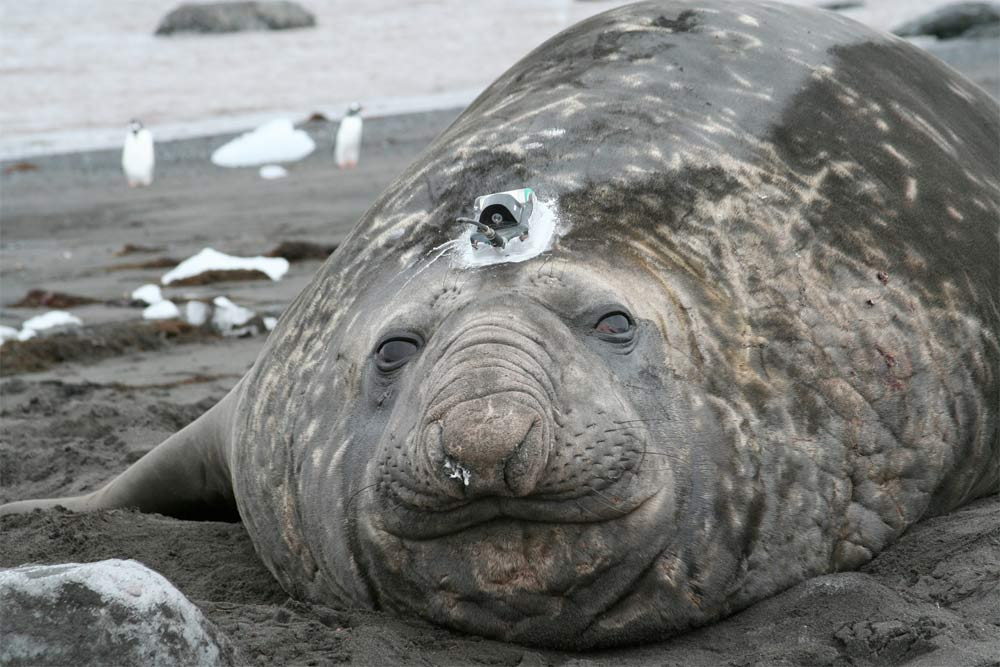 Melting ice shelves could be slowing down ocean circulation: Elephant seals lend a flipper to find out