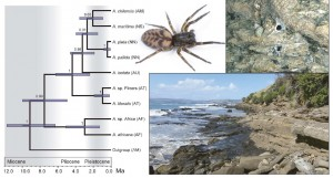 Fig. 3 from Ceccarelli et al., 2016. The most likely phylogenetic tree of the Amaurobioides genus of spiders, describe their evolutionary relationships. Species that split later in time (like A. chilensis and A. maritima) are more closely related than species that split longer ago (like A. africana and A. litoralis). Species areas of distribution are recorded as follows: AM = South America; AF = Africa; AU = South Australia; AT = Tasmania; NN = North Island and northern part of South Island of New Zealand; NS = central and southern part of South Island of New Zealand). Photos to the right of the tree are of (1) A. maritima (a New Zealand species), (2) two A. maritima burrows, (3) and the intertidal zone where A. maritima make their burrows.