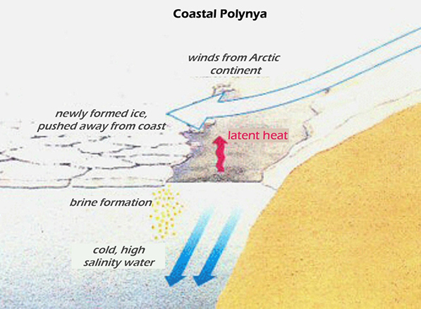 Deep water formation at a coastal polynya. Strong winds blow cold air over the open area of ocean, allowing water to freeze and form ice. The ice is blown away from the continent so that new ice can form, but salty water is left behind and sinks. (Open University)