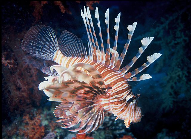 Figure 1 – The beautiful lionfish. Each spine has venom in it that could seriously harm a human (or anything else that tried to attack it). Source: Wikimedia Commons