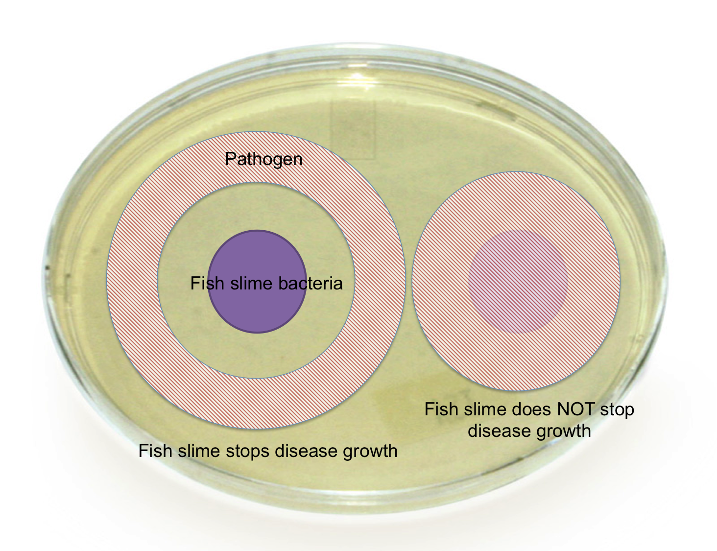 Figure 2 – A schematic showing what it would look like if the fish slime bacteria (purple) did stop the growth of disease (red circle, left) or did not stop the growth of disease (right).