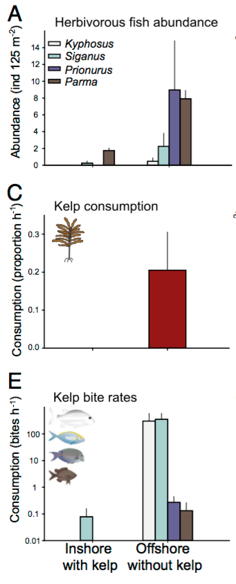 Fig. 6: The three figures here compare inshore and offshore sites. Inshore sites have kelp present but were not impacted by migrations, offshore sites had kelp prior to the start of this study. (A) shows the abidance of herbivorous fish, here, offshore sites that had kelp saw a major increase in herbivores. (C) shows kelp consumption at both sites, here, consumption exists and is much greater in the offshore sites now devoid of kelp. (E) shows bite rates by dominant fish at both sites, here you can see that offshore sites had very active fish eating away at the kelp.
