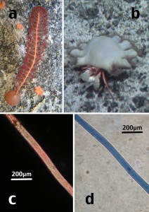 Figure 2: a) sea pen and b) hermit crab in their habitat before being collected taken by Taylor, ML. c) polyester microfibre and d) acrylic microfibre found within deep sea animals, taken by Gwinnet, C. (Figure used with permission from Taylor et al., 2016).