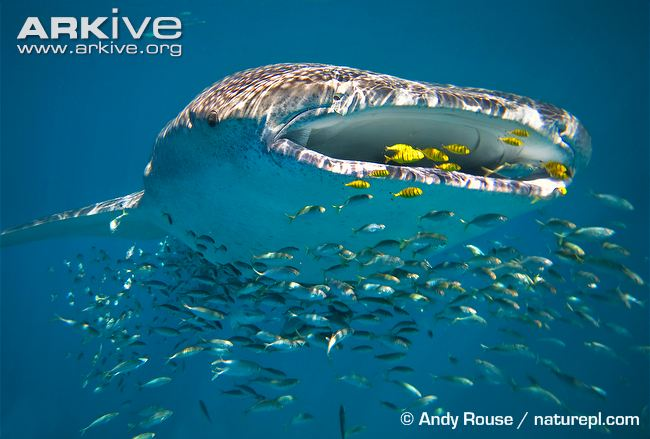 Exciting strides for eDNA: Insights into whale shark population genetics