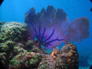 Sea fan (Gorgonia ventalina)—a soft coral—from Cozumel, Mexico. Originally posted to Flickr by Skinned Mink, accessed via Wikimedia Commons. https://commons.wikimedia.org/wiki/File:Gorgonia_ventalina,_Cozumel.jpg
