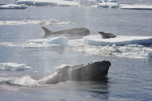 Figure 3: A humpback whale (foreground) was photographed breaking up a killer whale (background) attack on a crabeater seal (on ice). Image from Pitman et al., 2017- taken by R.L. Pitman