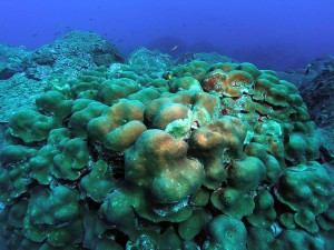 Boulder star coral (Orbicella annularis)—a hard coral. Author: NOAA. Source: Wikimedia Commons https://commons.wikimedia.org/wiki/File:Orbicella_annularis_(Montastraea_annularis),_Florida.jpg