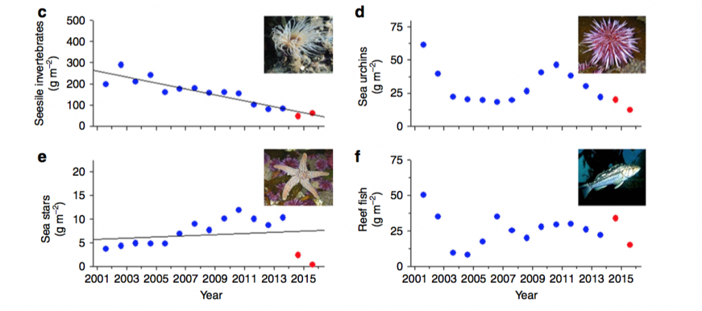 Fig. 5: Kelp forest inhabitants were also monitored. Declines in sessile (non-moving) invertebrates (d) also follow a long term trend. The drop in sea stars (f) was not directly linked to temperature but rather a spread of wasting disease. Sea urchins (e), important kelp consumers, showed no trend over the long term data, but declines under Blob years a linked to the increase in disease spread due to warmer waters.